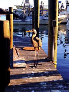 Star Fish Company Egret