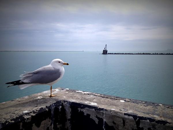 Chicago Gull