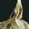 Iris Detail IV