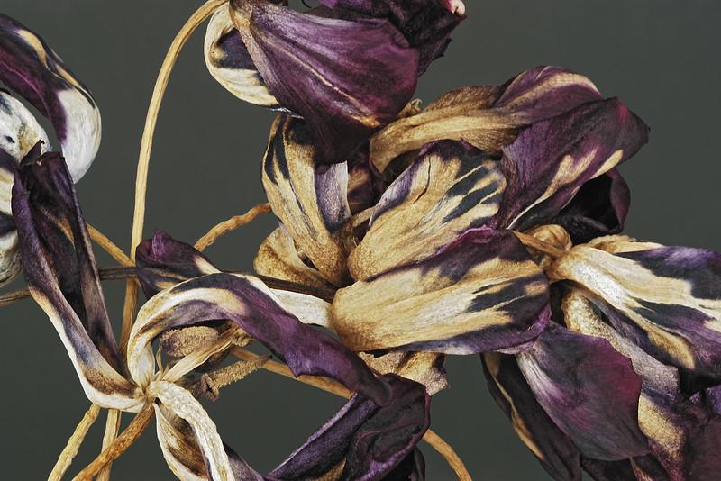 Tulips Purple Cluster