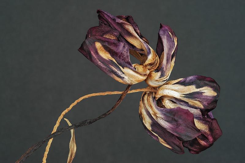 Two  Reclinig Tulips