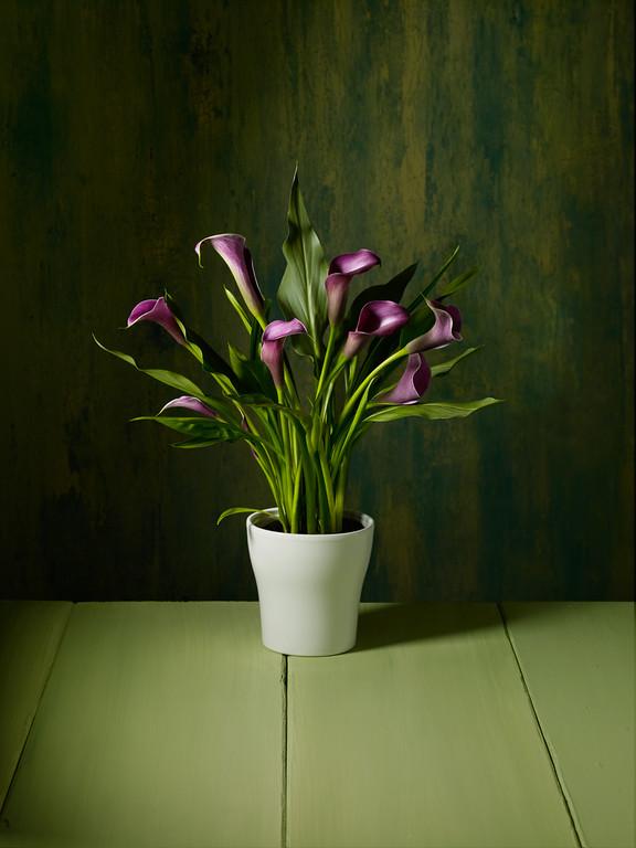 Purple Calas wide