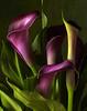 Purple Calas close