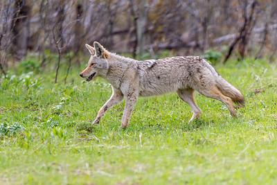 Happy Coyote