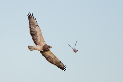 Swainson's Hawk With A Dove