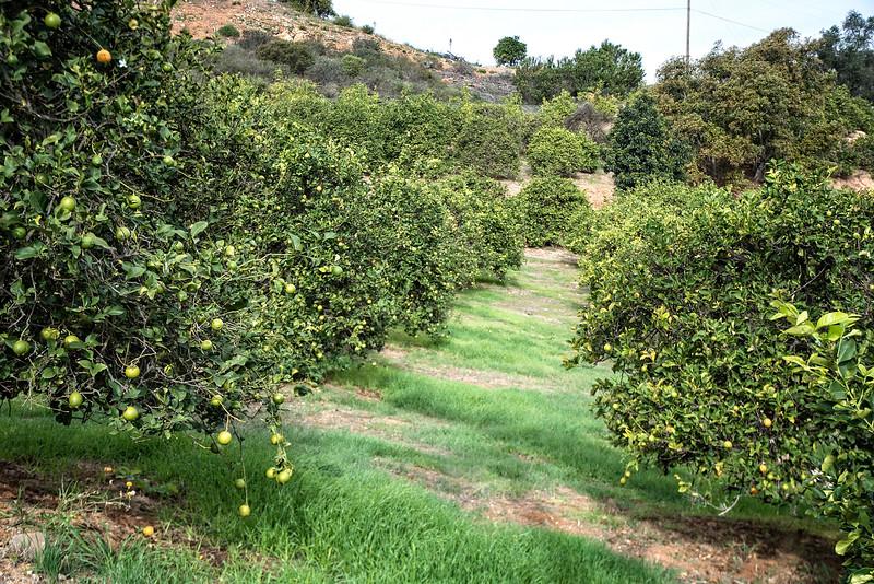 Citrus groves