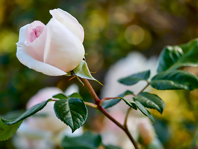 GardensLakeMerritt_2016_05_27_09-39-13_E-M1_Olympus M ZUIKO DIGITAL ED 60mm 1-2 8 Macro__5272345_©2016_StudioXEPHON