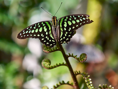 ButterflyConservatory_2016_06_10_09-21-33_E-M1_M 40-150mm F2 8 + MC-14__6105074_©2016_StudioXEPHON