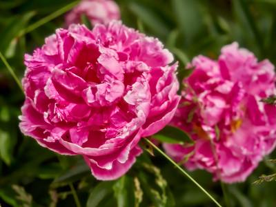 FloralClock_2016_06_10_13-54-05_E-M1_Olympus M ZUIKO DIGITAL ED 60mm 1-2 8 Macro__6105884_©2016_StudioXEPHON