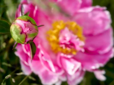 FloralClock_2016_06_10_13-53-36_E-M1_Olympus M ZUIKO DIGITAL ED 60mm 1-2 8 Macro__6105880_©2016_StudioXEPHON