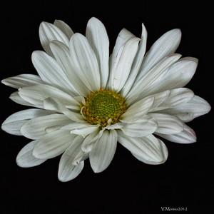 """""""My Daisy"""""""