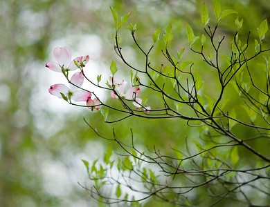 Dogwood, maybe?   75mm Apo-Summicron-M ASPH on DMC-GF1.  [jbm-20100419-gf1-034]