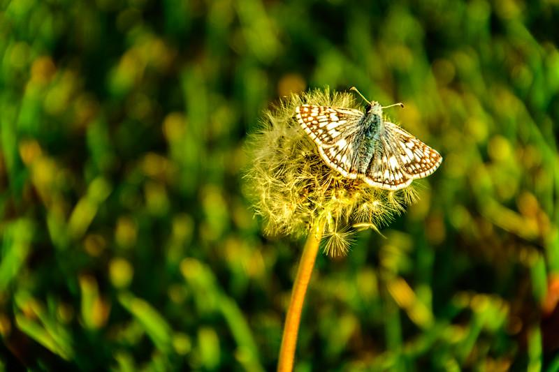 SRV1409_9525_Dandelion_Moth
