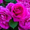 SRb1605_5448_Roses
