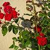 SRf1906_0385_Roses