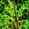 SRf2107_6298_Dragonfly