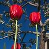 SRd1904_9700_Tulips