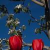 SRd1904_9702_Tulips