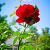 A red rose in the Walker's yard