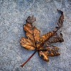 SRf2001_1909_Leaf