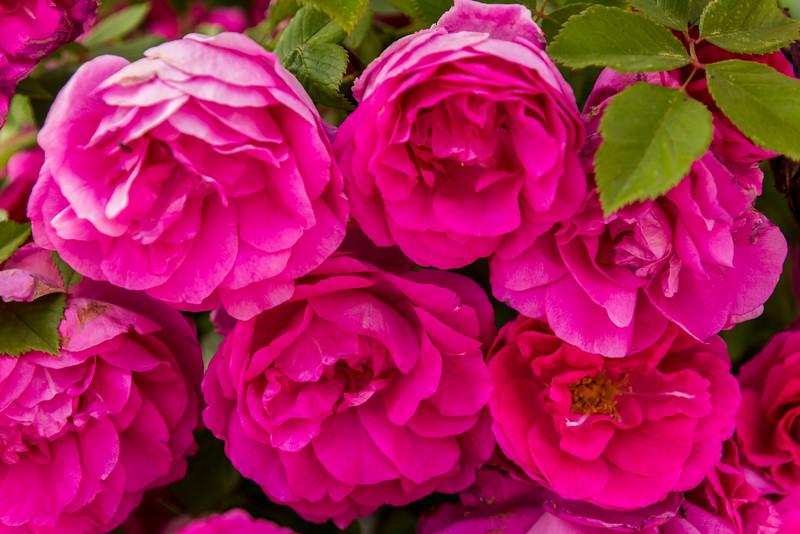 SRb1606_5460_Roses