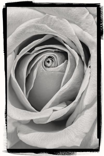 SRW1409_0174_Rose-2