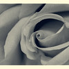 SRW1409_0178_Rose-2