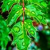 SRd1806_5691_Leaves