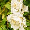 SRW1411_2468_Flora
