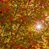 SRU1310_6897_Sun_Leaves