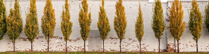 A copse of hornbeam trees along an old brick building with peeling paint, captured on November 14, 2011. This is my first attempt at a panorama photo; it is three different photos stitched together in Lightroom. As of the end of 2016, this building and the trees no longer exist. They were torn down to make room for a new building.