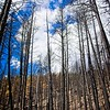 Charred trees near Panguitch Lake, Utah. The forest fire that burnt these trees started near Brian Head.