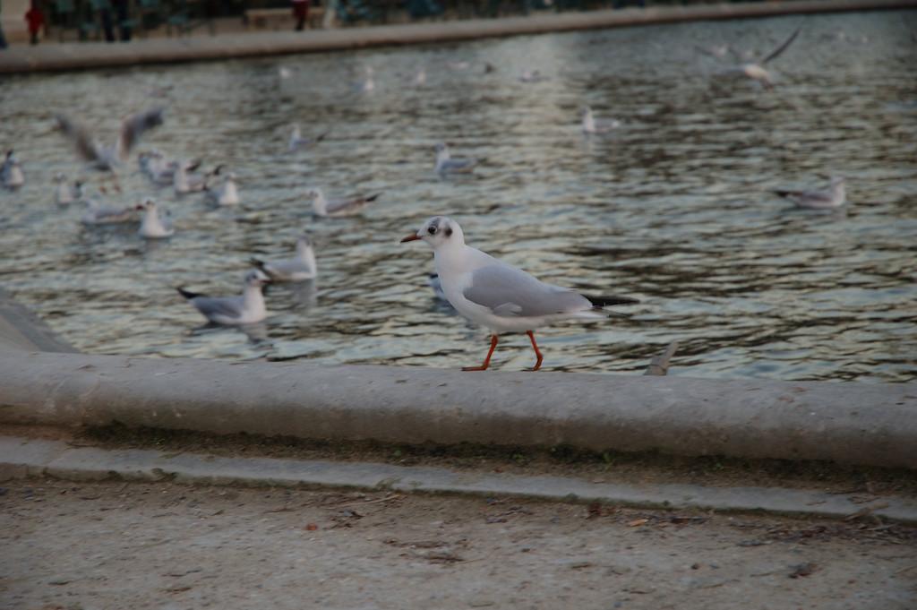 Une mouette sur le bord du bassin des tuileries.