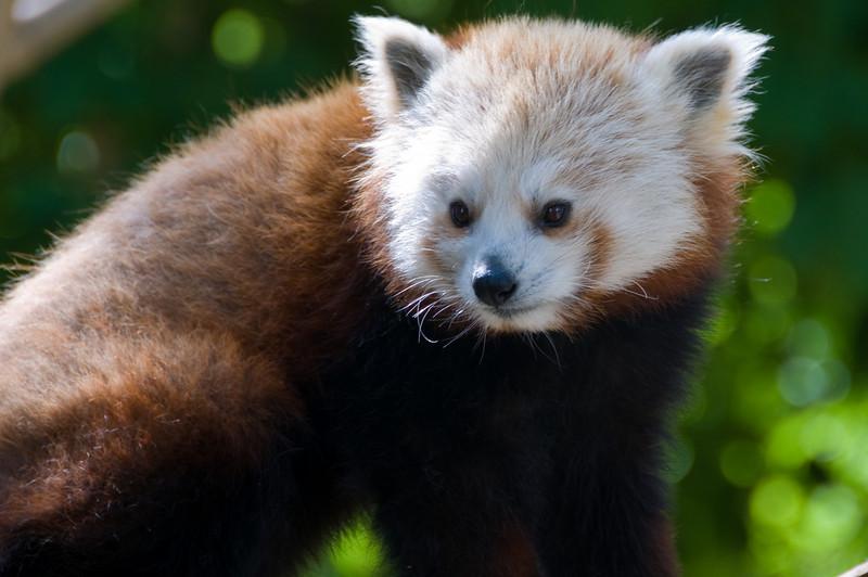 petits pandas de la mŽnagerie du jardin des plantes