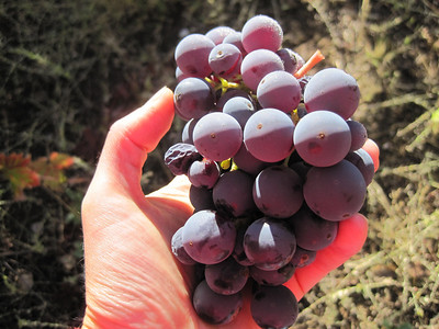 Harvesting Zinfandel - Oct 2011