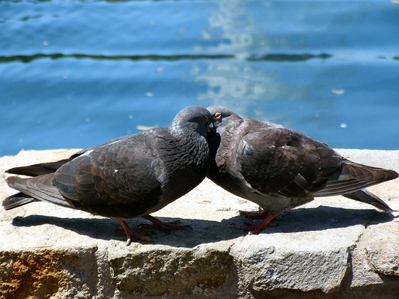 Dove love by the Palace of Fine Arts <br /> Dove love by the Palace of Fine Arts