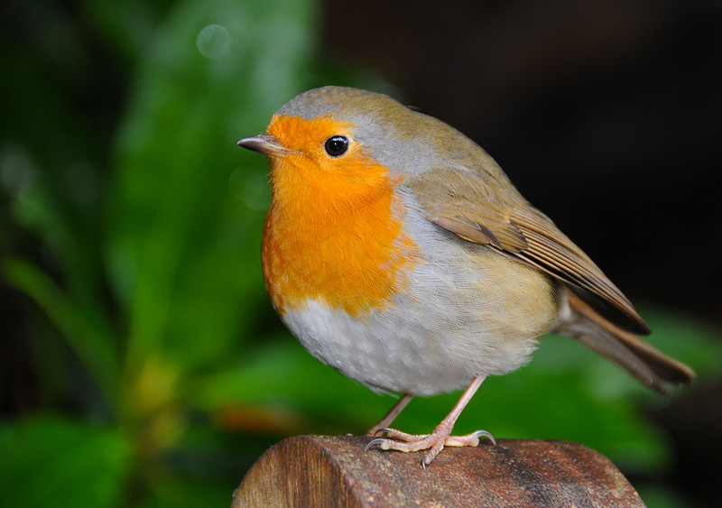 Robin Redbreast <br /> This is a fine example of a tubby-looking European robin - British subspecies. As are many, this littl'un was pretty tame, hence how I could get in so close. That said, he bounced around pretty rapidly, so it took a bunch of attempts to get anything as unblurred and as sharp as this is.