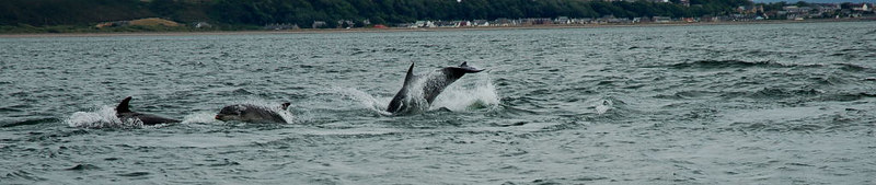 Dolphins at Fortrose