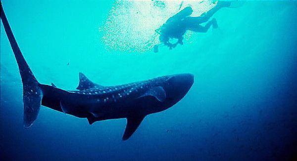 Yemen. Whale Shark diver