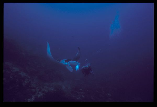 Manta Eritrea Red Sea