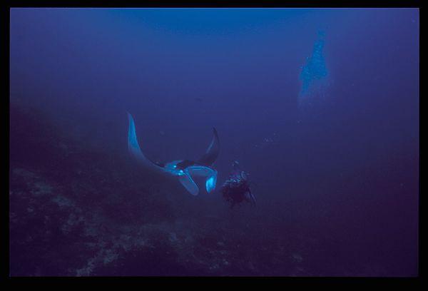 Manta Eritrea Red Sea