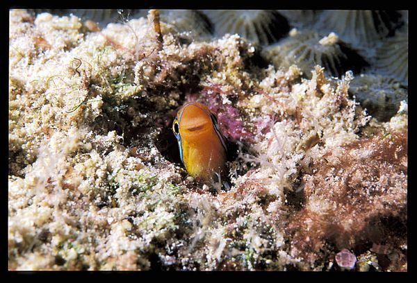 Red Sea goby fish