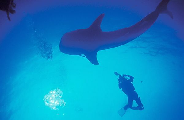 Eritrea Red Sea Whale Shark diver