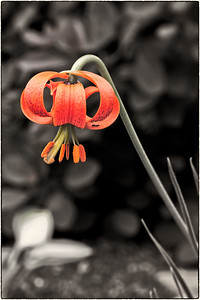 Lilium and Guest