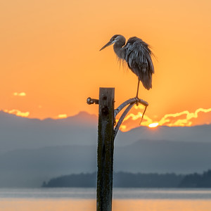 Blue Heron Sunrise