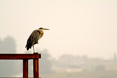 Great Blue Heron looking over Penn Cove.