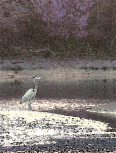 Lone Blue (thanks Michael!) Heron   In Photoshop, I put a waterpaper filter on it.