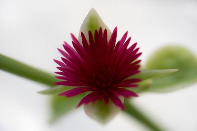 Succulent Flower Macro