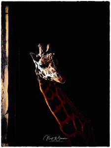 Giraffe Making An Appearance