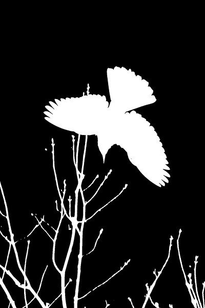 Blackbird and Branches (Reversed)